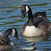 Canada Geese - Camden Harbor, Me