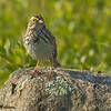 Savannah Sparrow - Beech Hill Preserve, Rockport, Me.