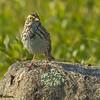 Savannah Sparrow - Beech Hill Preserve, Rockport, Me.