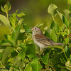 A singing Field Sparrow. - Beech Hill Preserve, Rockport, Me.