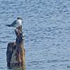 Laughing Gull - Lincolnville Beach, Me