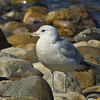 Ring-billed Gull - Lincolnville Beach, Me.