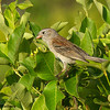 A Field Sparrow which nest on the scrubby area on the preserve. - Beech Hill Preserve, Rockport, Me.