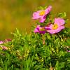 Wildflowers - Beech Hill Preserve, Rockport, Me.