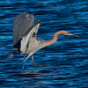 A Reddish Egret pursuing a fish.