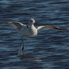 Avocet taking off.