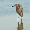 A beautiful Reddish Egret.
