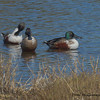Two females and a male Northern Shovelers -