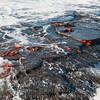 Sally Lightfoot Crabs in surf-Santiago Island-Galapagos 1