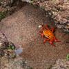 Sally Lightfoot Crab-Bartolome Island-Galapagos