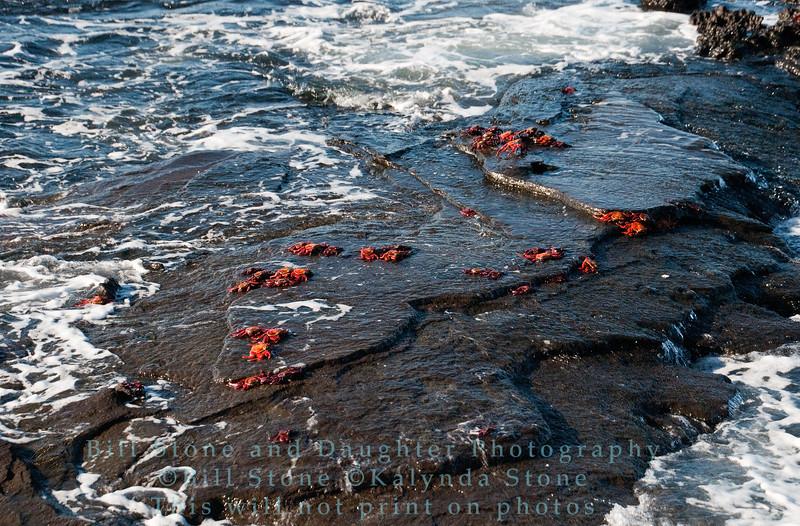 Sally Lightfoot Crabs in surf-Santiago Island-Galapagos 3
