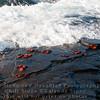 Sally Lightfoot Crabs in surf-Santiago Island-Galapagos 2
