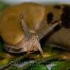 Bannana Slug - Ariolimax columbianus - Sonoma County