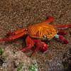 Sally Lightfoot Crab-Bartolome Island-Galapagos 2