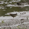 At the pond in Valle Crucis Community Park I was able to view a migrating Northern Waterthrush. 9/27/10