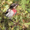 A male Rose-breasted Grosbeak feeding on some seeds at Valle Crucis Community park, NC (on a windy day)