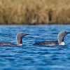 A pair of Red-throated Loons