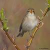 Arctic Warbler singing