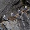Nesting Kitiwakes.