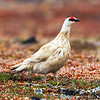 A male Rock Ptarmigan - Nome, Alaska