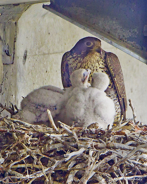 An adult Gyrfalcon, the largest true falcon in the world, on nest with it's 3 offspring.