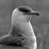 A black & white portrait of the Parasitic Jaeger - Nome, Alaska