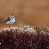 A cute little Semipalmated Sandpiper - Nome, Alaska