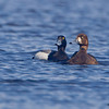 A pair of Greater Scaup.