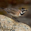 Another Horned Lark, willing subjects these birds.