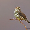 Northern Waterthrush - Nome, Alaska