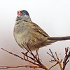 A pretty Golden-crowned Sparrow calling - Nome, Alaska