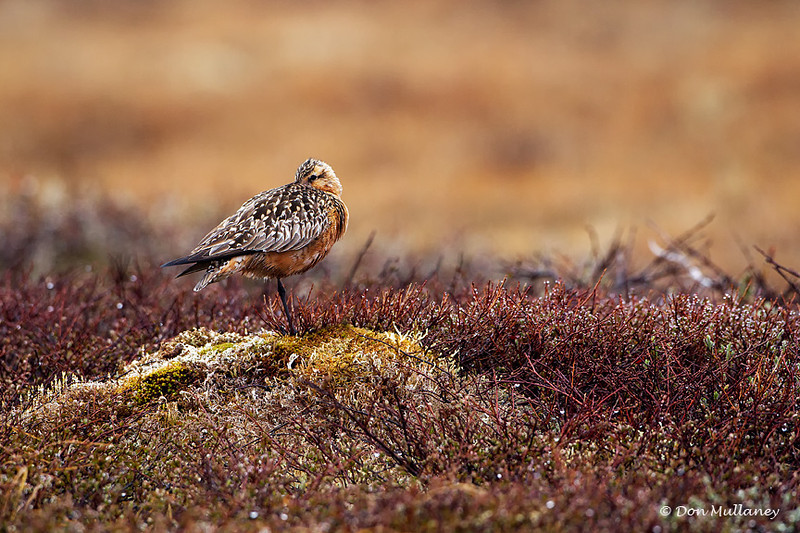 A Bar-tailed Godwit taking a nap - Nome, Alaska