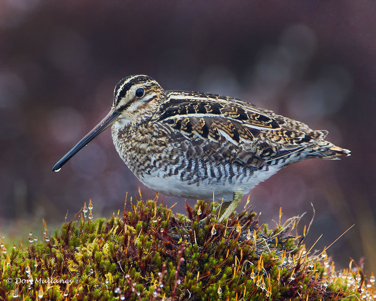 A Wilson's Snipe with some morning dew on it's bill - Nome, Alaska