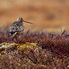A Bar-tailed Godwit balancing on one leg. - Nome, Alaska