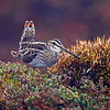 A Wilson's Snipe displaying - Nome, Alaska