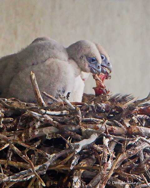 Two of the Gyrfalcon chicks lunch on the scraps of a previous kill.