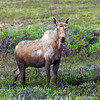 Adult female Moose