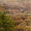 A Rough-legged Hawk's flyby.