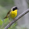 A male Common Yellowthroat calling - Mahone Bay, NS