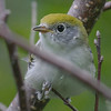 The cute face of a female Chestnut-sided Warbler - Mahone Bay, NS