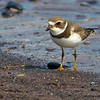 SP Plover close up - Doyles Cove, PEI NP