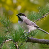 Black-capped Chickadee-Mahone Bay, NS