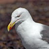 Greater Black-backed Gull -  - Doyes Cove, PEI Nat. Pk.