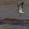 Sandpiper jumps out of the way of a small wave - Doyles Cove, PEI NP