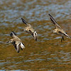 Semipalmated Sandpipers in flight - Doyles Cove, PEI NP