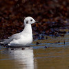 A juvenile Bonaparte's Gull.  - Doyes Cove, PEI Nat. Pk.