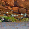 A flight of Sandpipers along the red rocks of PEI NP