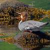 Female Common Merganser calling. - Mahone Bay