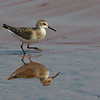 Sandpiper reflection - Doyles Cove, PEI NP