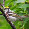 Chestnut-sided Warbler - Mahone Bay, NS